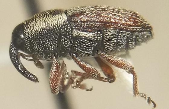 Barilepsis grisea LeConte - Barilepis grisea