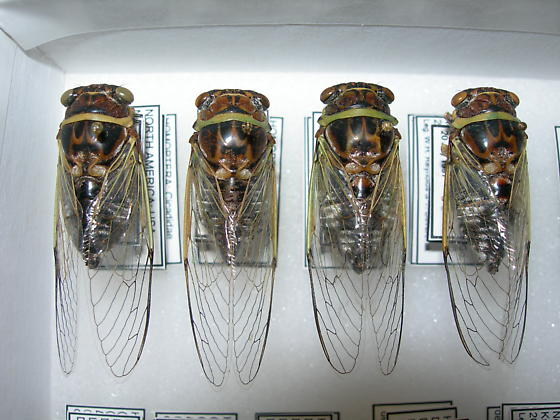 Diceroprocta viridifascia - male - female