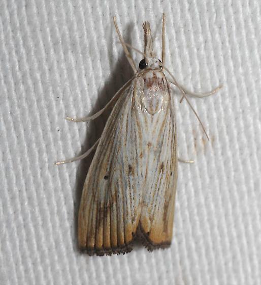 Crambid Snout Moth - Xubida dentilineatella