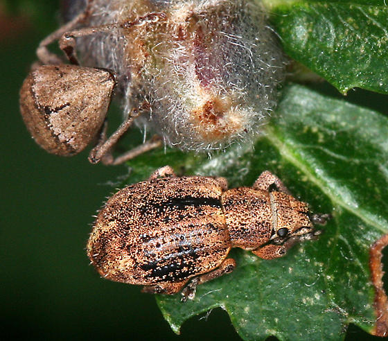 Broad-nosed weevils - Sciopithes obscurus
