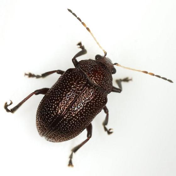 Colaspis brownsvillensis Blake - Colaspis brownsvillensis