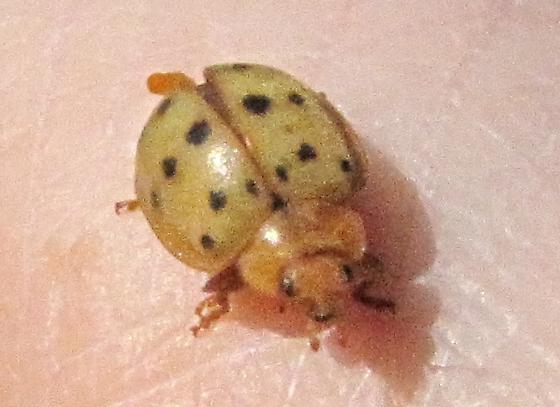 Beetle - Epilachna varivestis