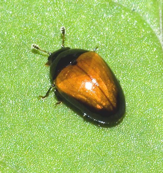 Tiny shiny beetle - Tritoma pulchra