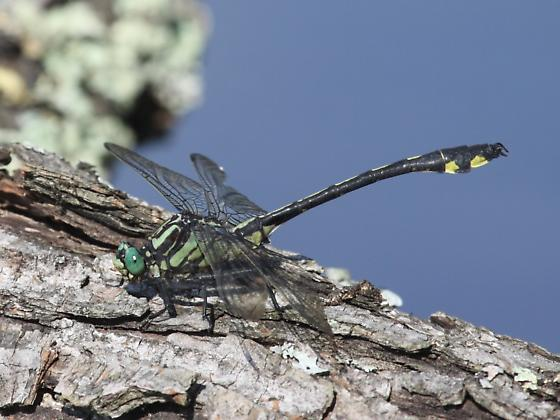 Gomphus lineatifrons - Male - Gomphurus lineatifrons - male