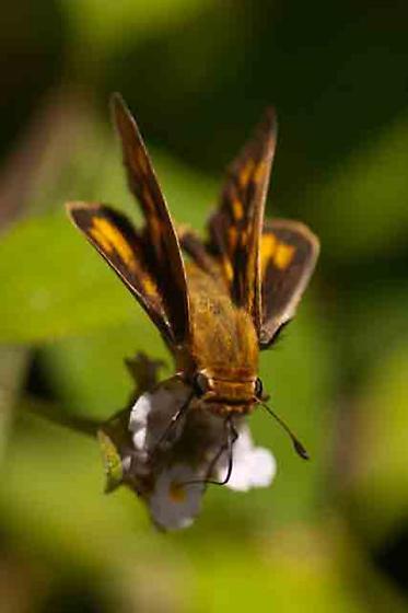 Skipper-01-Edinburg TX - Hylephila phyleus