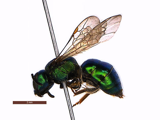 Augochlorella Female - Augochlora pura - female