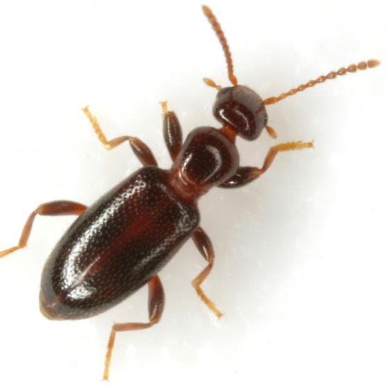 Vacusus vicinus (LaFerté-Sénectère) - Vacusus vicinus