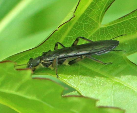 Plecoptera ID?