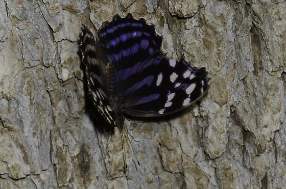 Mexican Bluewing - Myscelia ethusa