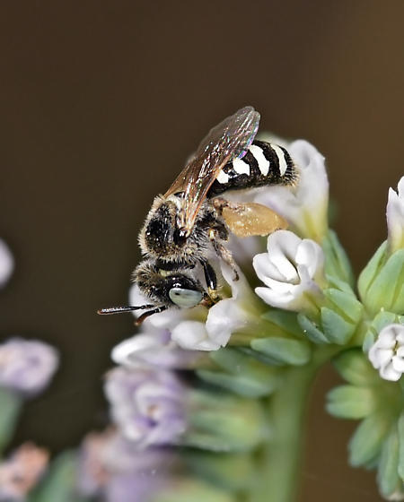 Bee, sp - Calliopsis - female