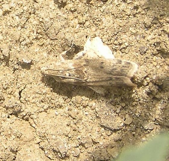 Ephestia kuehniella