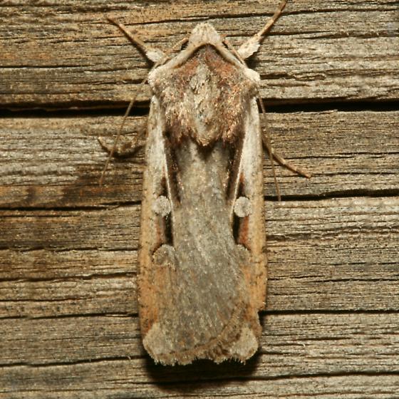 Moth - Hemieuxoa rudens