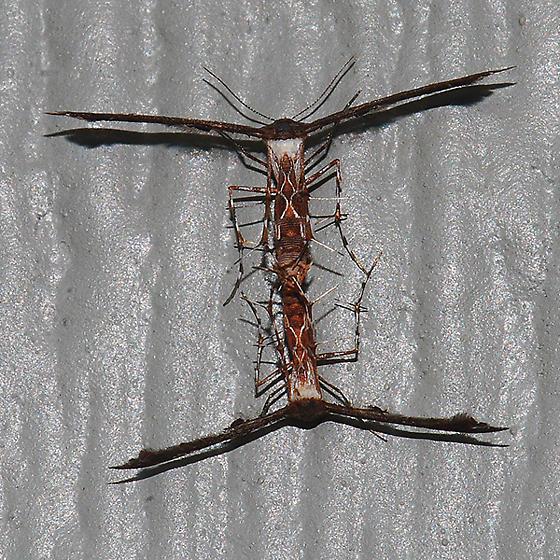 Plume Moth pair - Michaelophorus indentatus - male - female