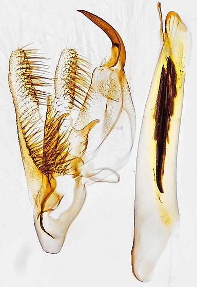 genitalia - Cabera variolaria - male