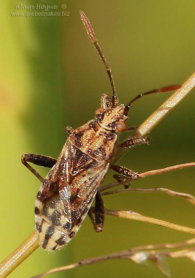 Arhyssus ? - Stictopleurus punctiventris