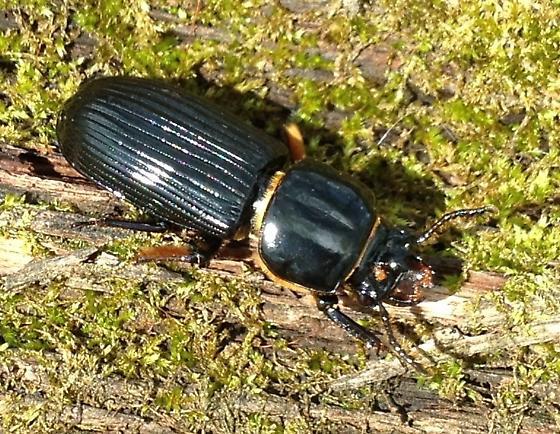 Black Beetle on Log - Odontotaenius disjunctus