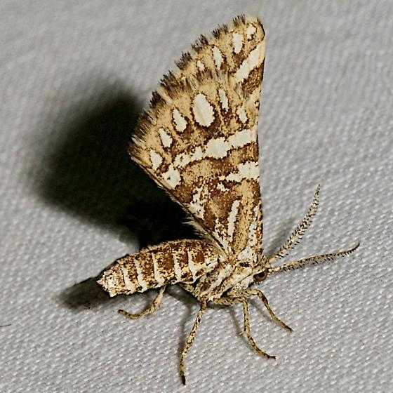 6420 –  Green Broomweed Looper Moth - Fernaldella fimetaria