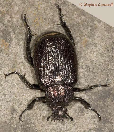 Odor-of-Leather Beetle - Osmoderma scabra