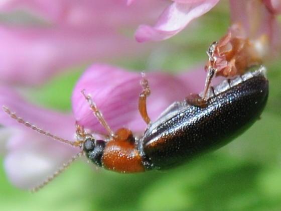 Beetle - Orsodacne atra