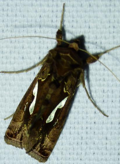 Megalographa biloba – Bilobed Looper Moth - Megalographa biloba