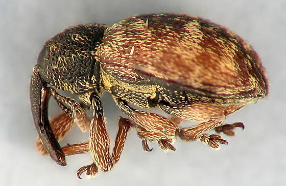 colorful weevil - Smicronyx sculpticollis