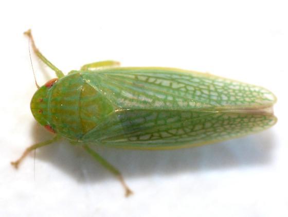 Gyponana cacumina? - Gyponana - female