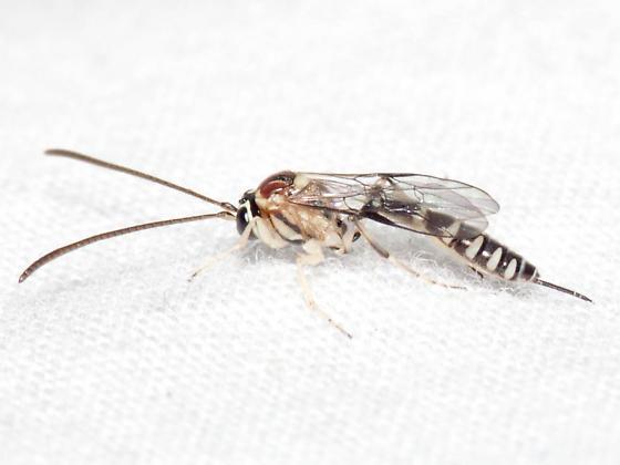 Ichneumonoid ID Req. - Brachycyrtus pretiosus - female