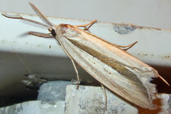 Long-winged Doryodes Moth - Doryodes spadaria