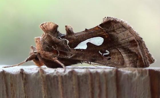 Noctuidae: Megalographa biloba? - Megalographa biloba