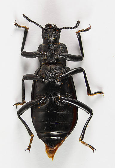 Another large Tenebrionid... - Iphthiminus lewisii