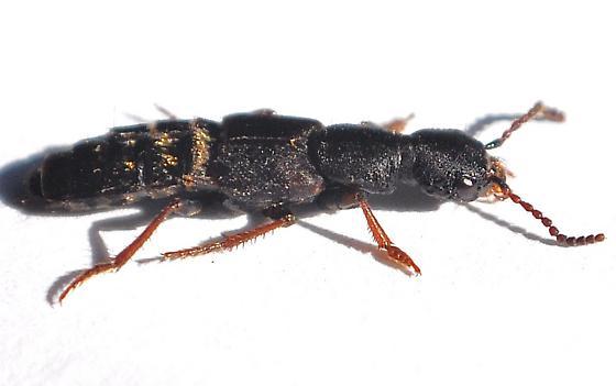 Rove beetle - Dinothenarus nigrellus