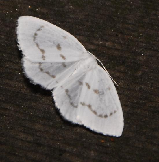 Eudeilinia herminiata Northern Eudeilinea Woodcrest 1 _DSC0003 8-12-2012 5-23-29 AM - Eudeilinia herminiata