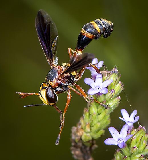 Conopidae ID request - Physocephala sagittaria - female