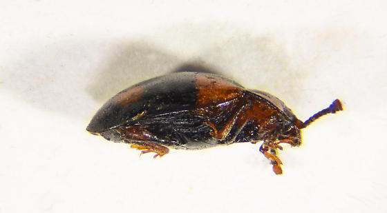 Mycetina - Mycetina hornii