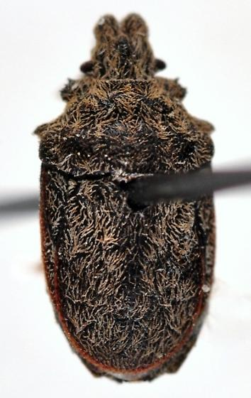 Oncozygia clavicornis