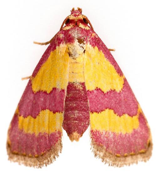 Noctuoidea - Phoenicophanta bicolor