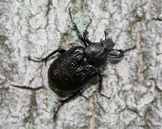 Large Black Beetle - Osmoderma scabra