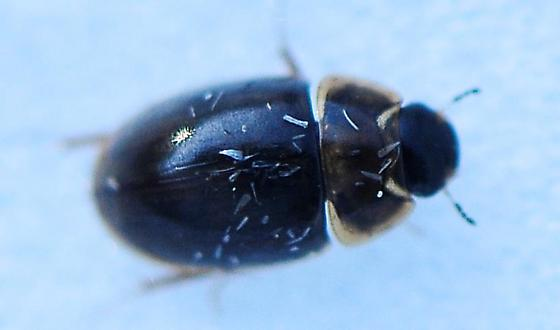 Hydrophilidae - Water Scavenger Beetles Genus Enochrus - Enochrus