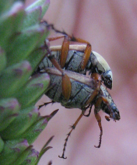 Beetles - Macrodactylus - male - female