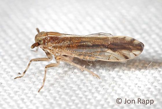 Delphacid Planthopper - Perkinsiella saccharicida
