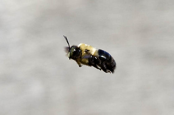 Carpenter Bee species. - Xylocopa virginica