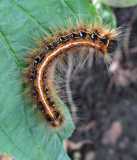 Caterpillar - Malacosoma americana
