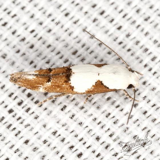 Circumscript Mompha - Hodges #1434 - Mompha circumscriptella
