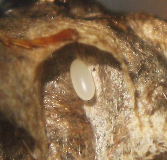 Polistes fuscatus egg - Polistes fuscatus - female