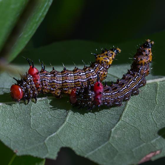 Schizura concinna – Red-humped Caterpillar Moth - Schizura concinna