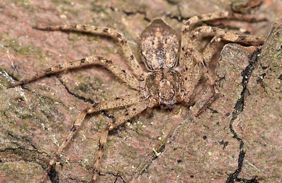 female running crab spider - Philodromus praelustris - female