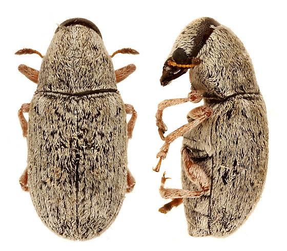 unknown beetle  - Trigonorhinus griseus