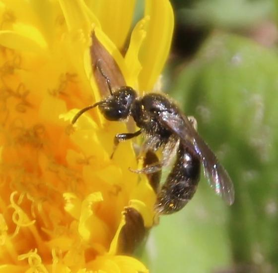 Small bee possibly Andrena - Lasioglossum