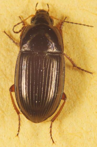 Anisodactylus sp.? - Amara familiaris