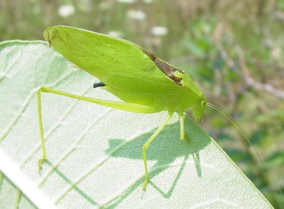 True Katydid - Amblycorypha oblongifolia - male
